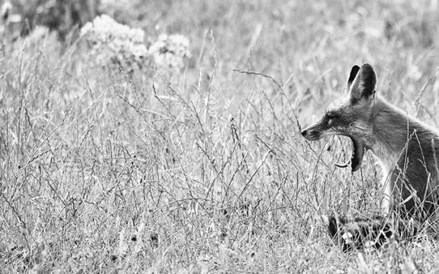 Yawning fox sitting in the meadow. Black/White picture.